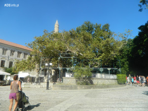 Platan Tree